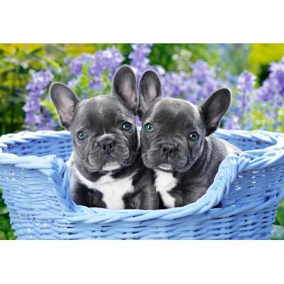 Castorland-104246 French Bulldog Puppies