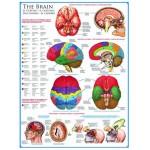 Eurographics-6000-0256 Le cerveau