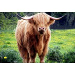 Grafika-Kids-00529 Pièces XXL - Vache des Highlands