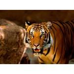 Grafika-Kids-00540 Tigre