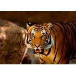 Grafika-Kids-00541 Tigre