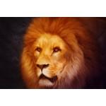 Grafika-Kids-00954 Pièces XXL - Lion