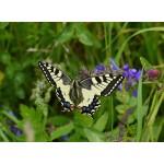 Grafika-Kids-01221 Papillon