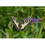 Grafika-Kids-01223 Pièces magnétiques - Papillon