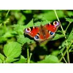 Grafika-Kids-01226 Papillon