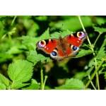 Grafika-Kids-01227 Papillon