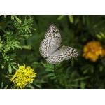 Grafika-Kids-01236 Papillon