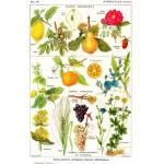 Grafika-00591 Illustration du Larousse Medical Illustré : Plantes Astringentes et Apéritives , 1912