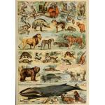 Grafika-00597 Illustrations du Larousse pour Tous : Mammifères , XIXè Siècle