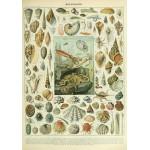 Grafika-00601 Illustration du Nouveau Larousse Illustré : Mollusques , XIXè Siècle