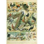 Grafika-00603 Illustration du Nouveau Larousse Illustré : Oiseaux , XIXè Siècle