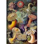 Grafika-00614 Ernst Haeckel : Anémones de Mer , 1904