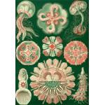 Grafika-00616 Ernst Haeckel : Les Trachyméduses , 1904
