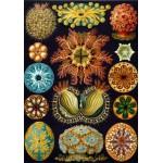 Grafika-00618 Ernst Haeckel : Les Ascidies , 1904