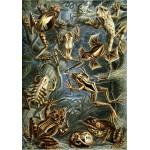 Grafika-00619 Ernst Haeckel : Les Batraciens , 1904