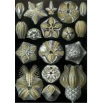 Grafika-00620 Ernst Haeckel : Les Blastoidea , 1904