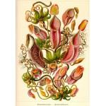 Grafika-01121 Ernst Haeckel: Kunstformen der Natur - Nepenthes (1904)