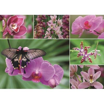 Jumbo-18354 Orchidées