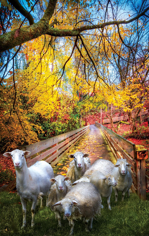 celebrate-life-gallery-sheep-crossing