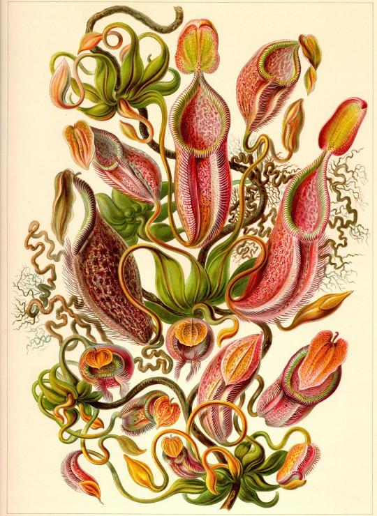 ernst-haeckel-kunstformen-der-natur-nepenthes-1904-