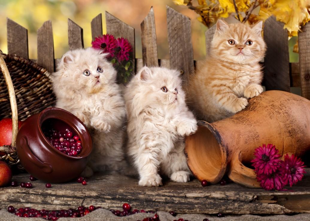 chats-persans