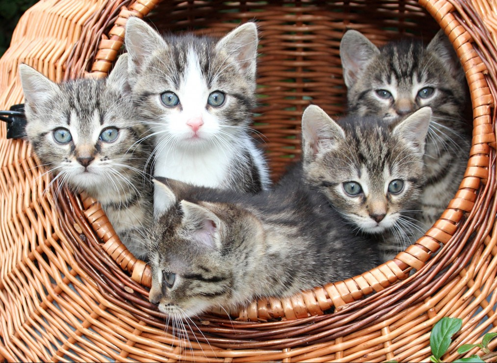 chatons-dans-le-panier