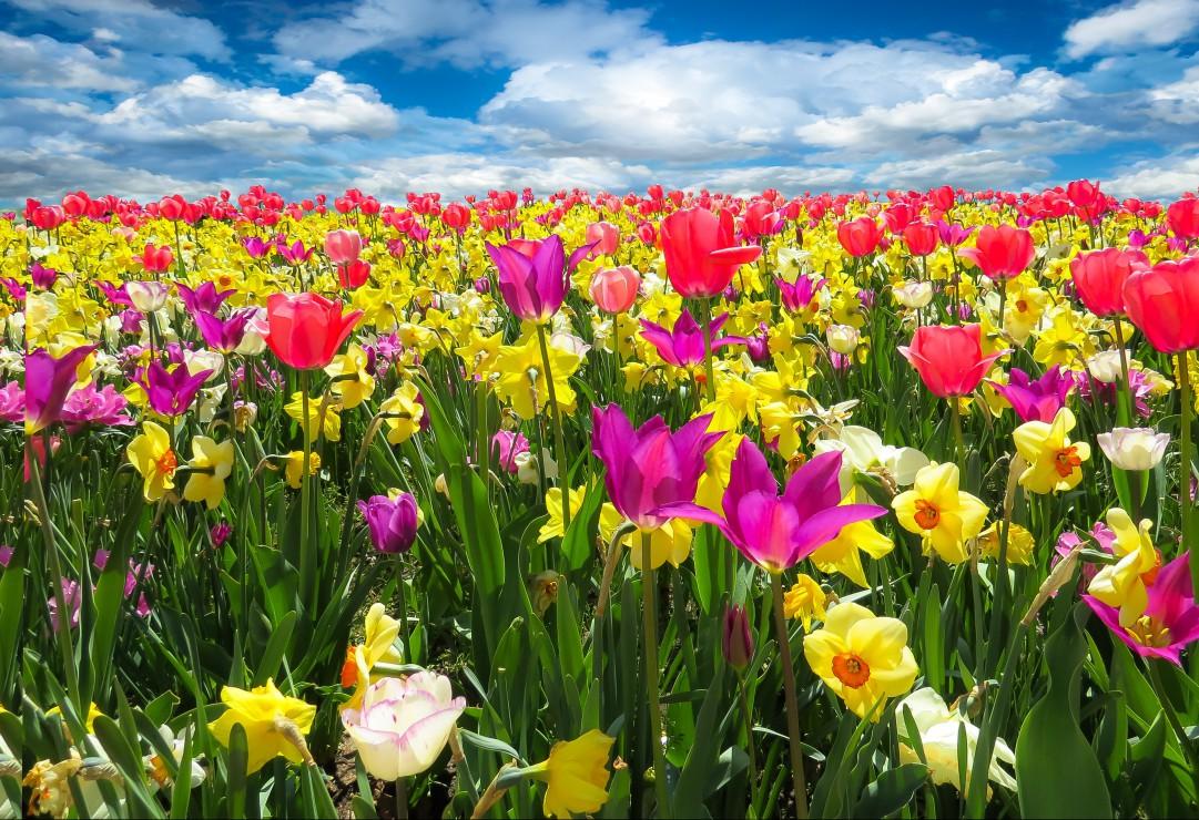 pieces-xxl-tulipes