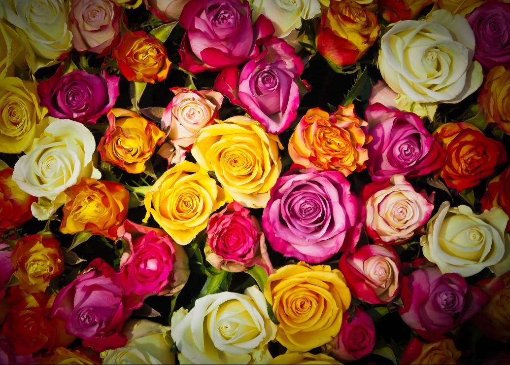 roses, 8.46 EUR @ go