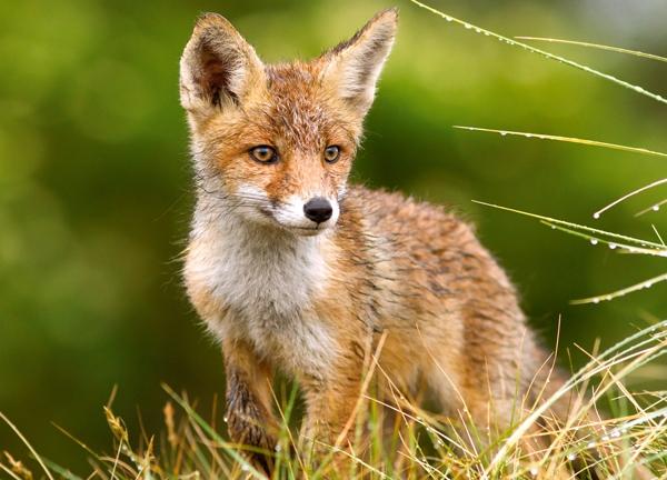 petit-renard