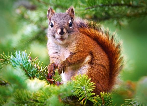pine-squirrel