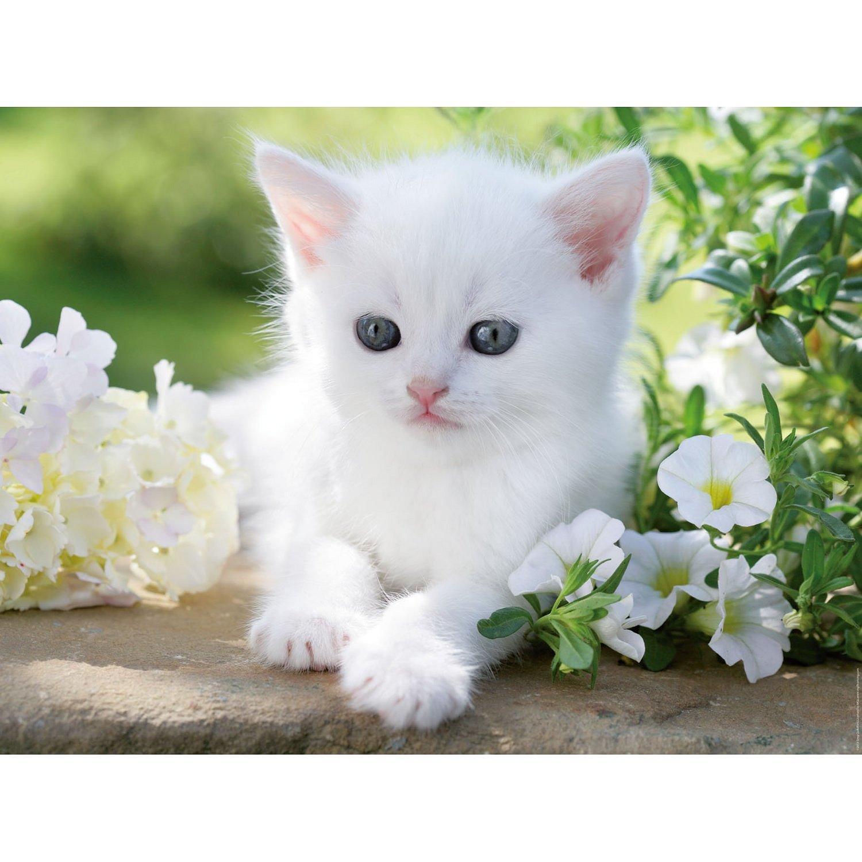 chaton-blanc