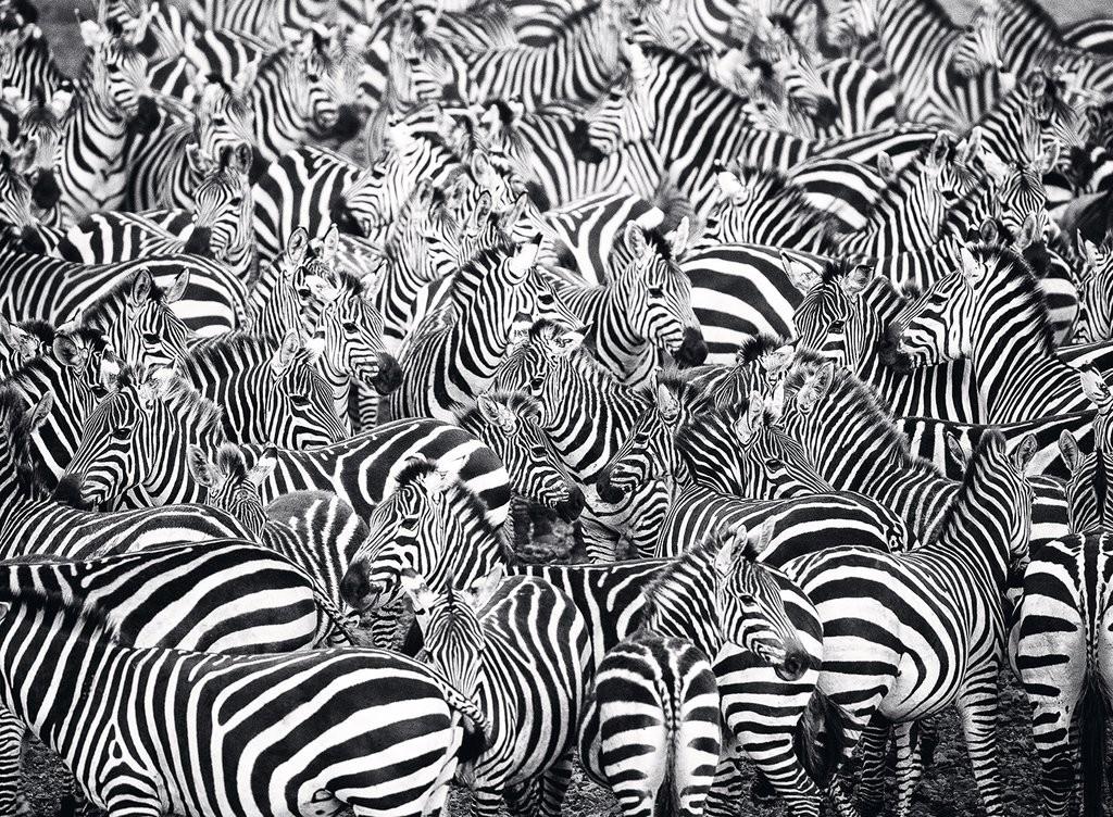 puzzle-challenge-zebres