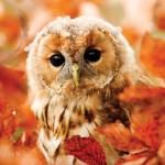Otter-House-Puzzle-73912 RSPB Tawny Owl