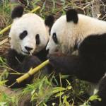 PuzzelMan-736 Pandas