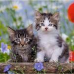 Ravensburger-08046 3 Puzzles - Chatons tigrés