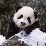 Ravensburger-15236 Bébé Panda