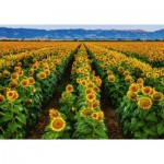 Ravensburger-15288 Champs de Tournesols